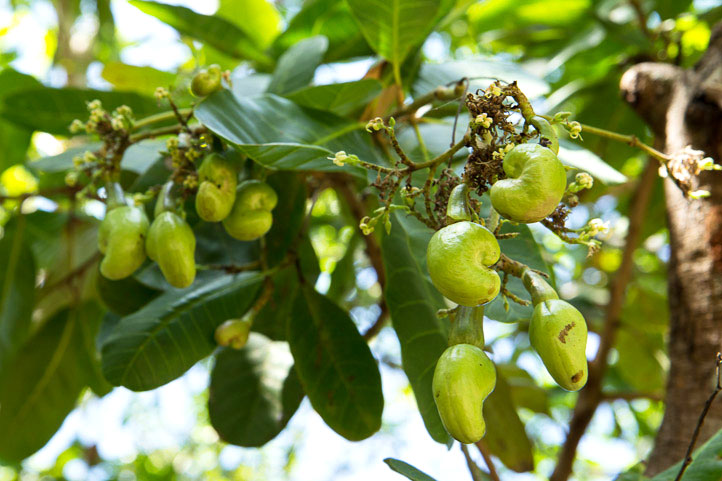 Cashew nuts on the tree © Camille Oger