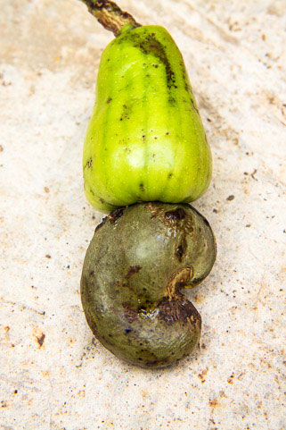Whole cashew, with its apple and its shell © Camille Oger