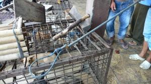 Abattage de chiens au gourdin © Camille Oger