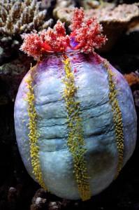 Pseudocolochirus axiologus, holothurie technicolor © Marrabbio2