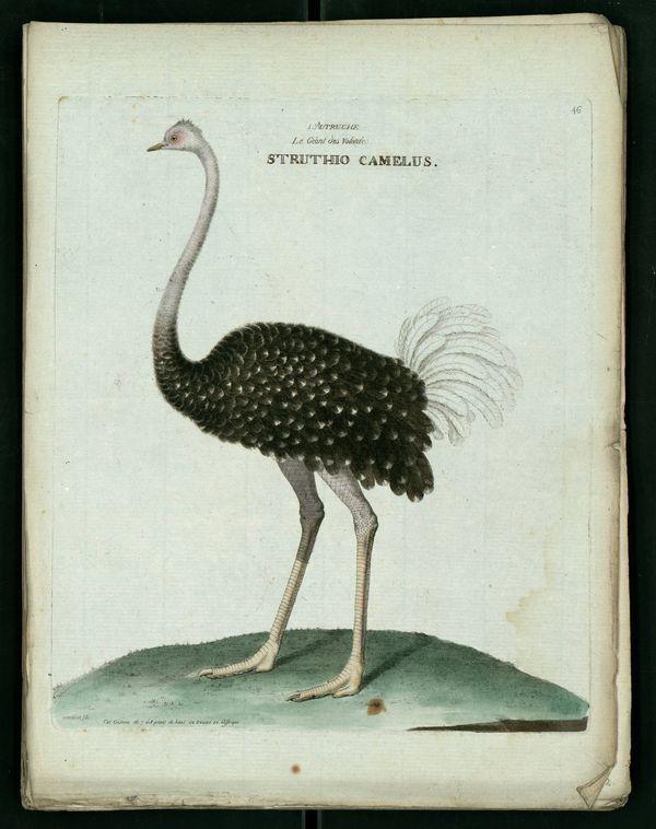 Autruche d'Afrique ou Struthio camelus
