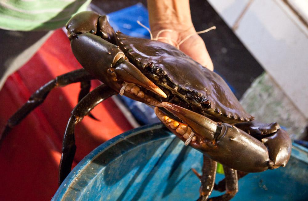 Crabe noir d'1,6 kg © Quentin Gaudillière