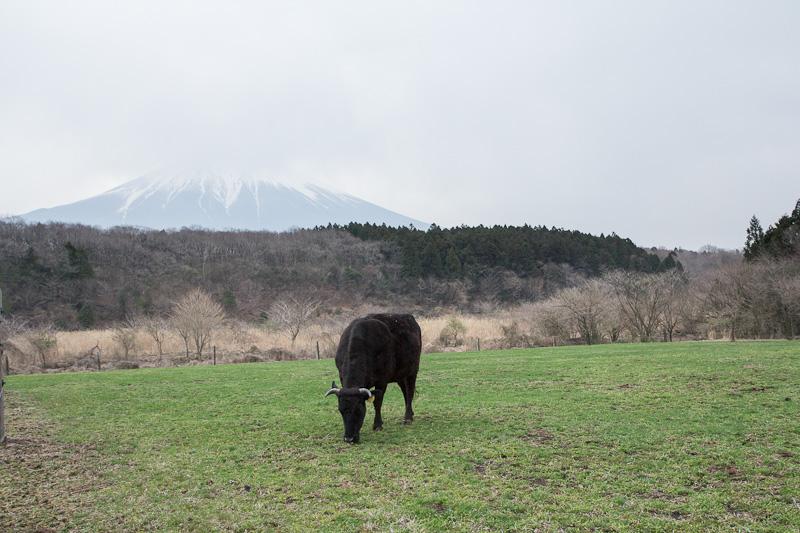Wagyu du mont Fuji devant le mont Fuji © Camille Oger