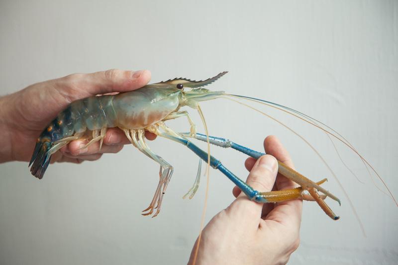 Crevette d'eau douce aux longues pinces © Camille Oger