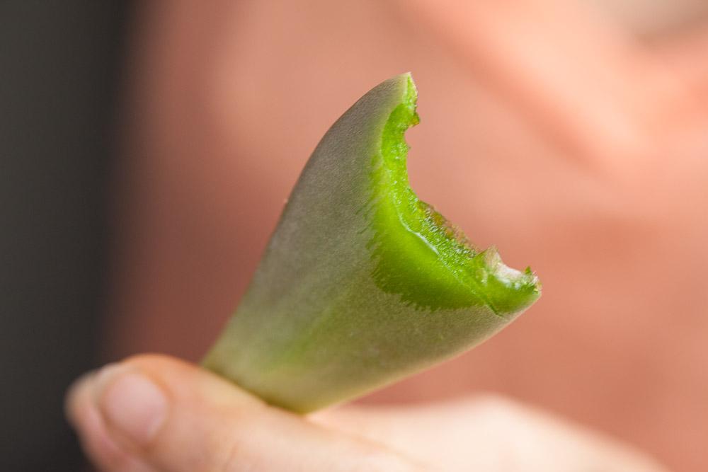 Feuille de plante fantôme croquée © Quentin Gaudillière