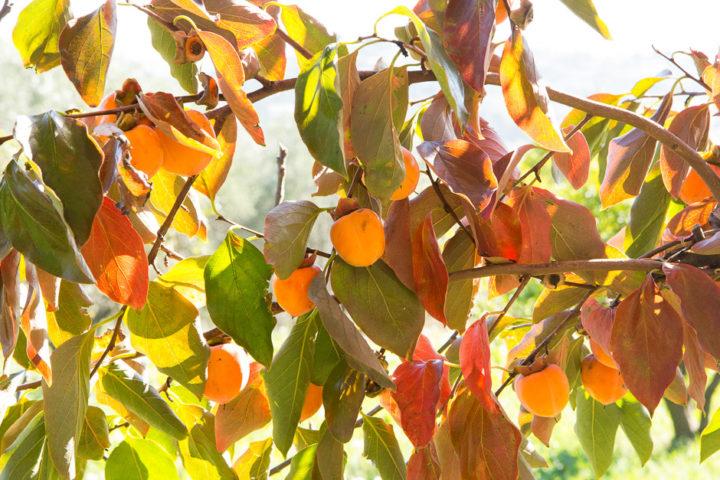 Plaqueminier en automne © Camille Oger