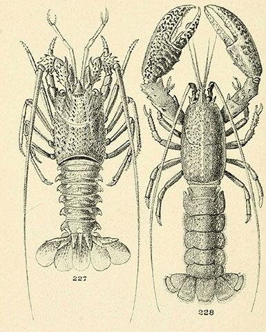 Langouste commune et homard commun