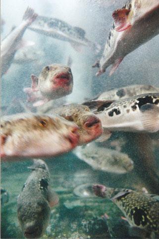 Takifugu rubripes dans l'aquarium d'un restaurant à Ueno, Tokyo © Camille Oger