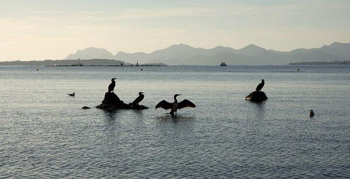 Grands cormorans du réveillon © Camille Oger