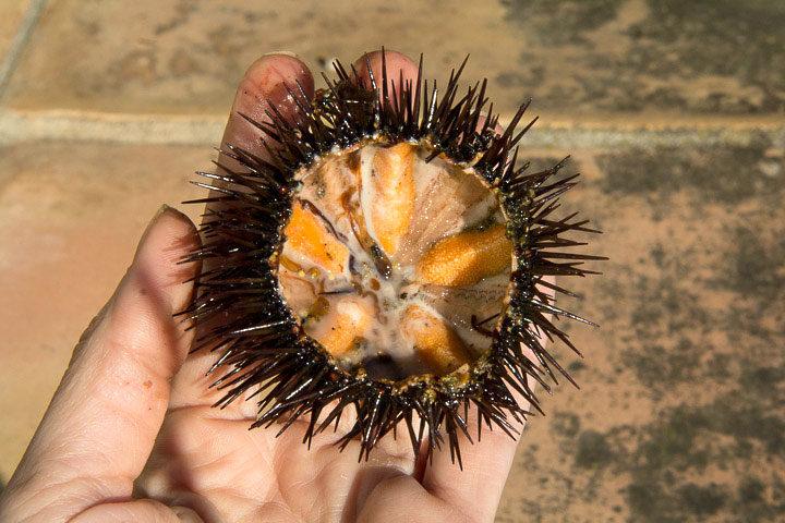 Intérieur d'un oursin comestible ou Paracentrotus lividus © Camille Oger