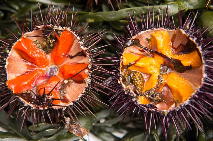Oursins comestibles de Méditerranée ou Paracentrotus lividus. La femelle est rouge,  le mâle est jaune © Camille Oger
