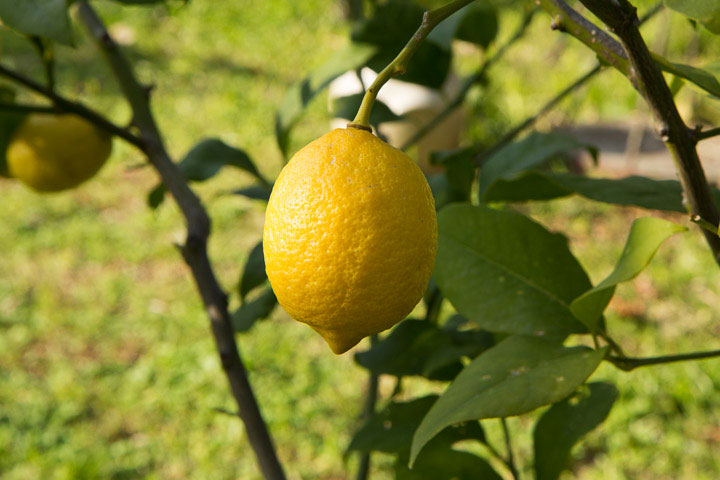 Citron Menton bio, cultivé dans mon jardin à Golfe-Juan © Camille Oger