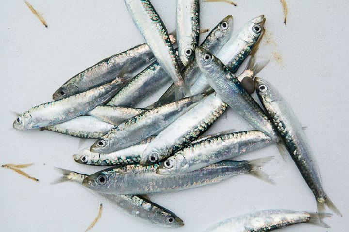 Sardines adolescentes, signe qu'il faut cesser la pêche © Camille Oger