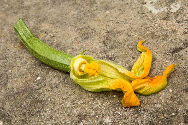 Fleur de courgette, coupe latérale © Camille Oger