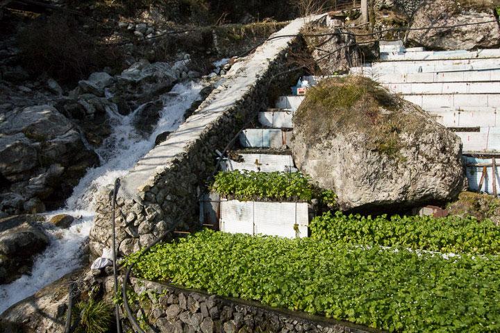 Wasabi cultivé en terrasses et torrent d'eau fraîche © Camille Oger