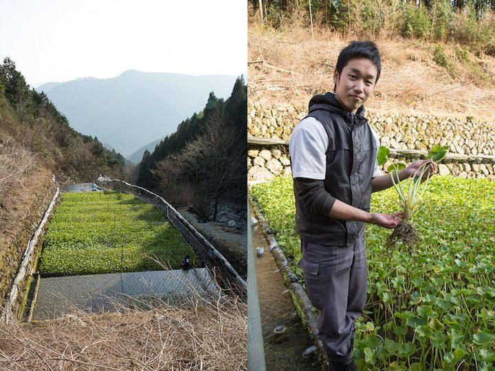 Champs de wasabi de Yuma Mochizuki / 望月佑真, Utogi, Shizuoka © Camille Oger