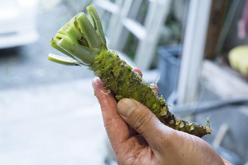 Wasabi taillé, pas encore rincé © Camille Oger