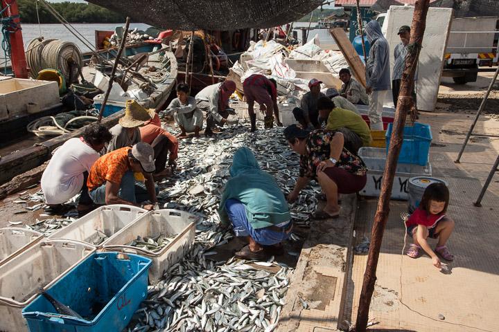 Tri des poissons à Kuala Penyu, Bornéo © Quentin Gaudillière