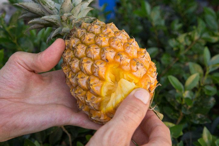 Snack pine, l'ananas japonais qui s'épluche tout seul © Camille Oger