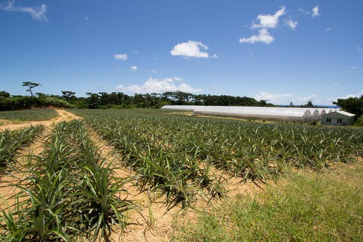 Plantation d'ananas, Iriomote © Camille Oger