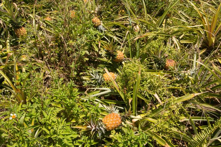 Plantation de Snack Pine (fort mal entretenue) © Camille Oger