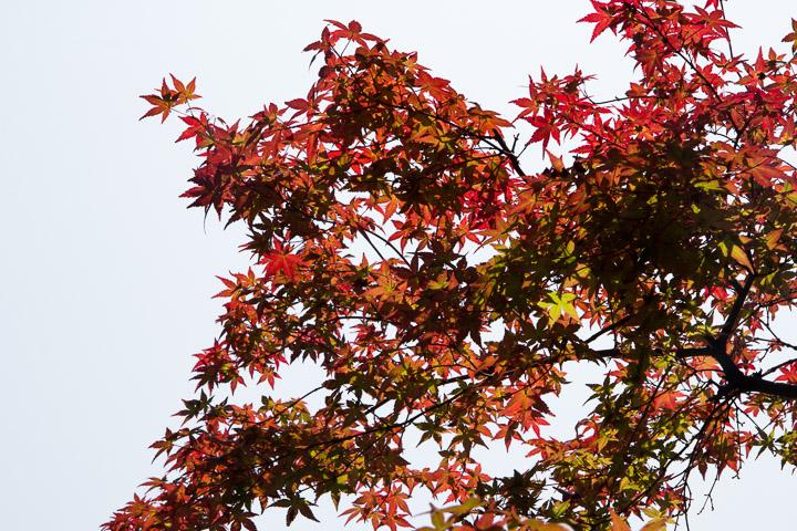 Les feuilles de l'érable palmé rougissent déjà © Camille Oger