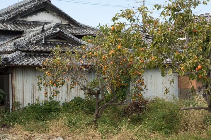 Kakis dans le jardin d'un particulier, Yuasa, Wakayama ©Camille Oger