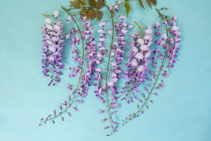 Grappes de fleurs de glycine - les deux plus courtes viennent d'une glycine chinoise, les trois plus longues viennent d'une floribonde © Camille Oger